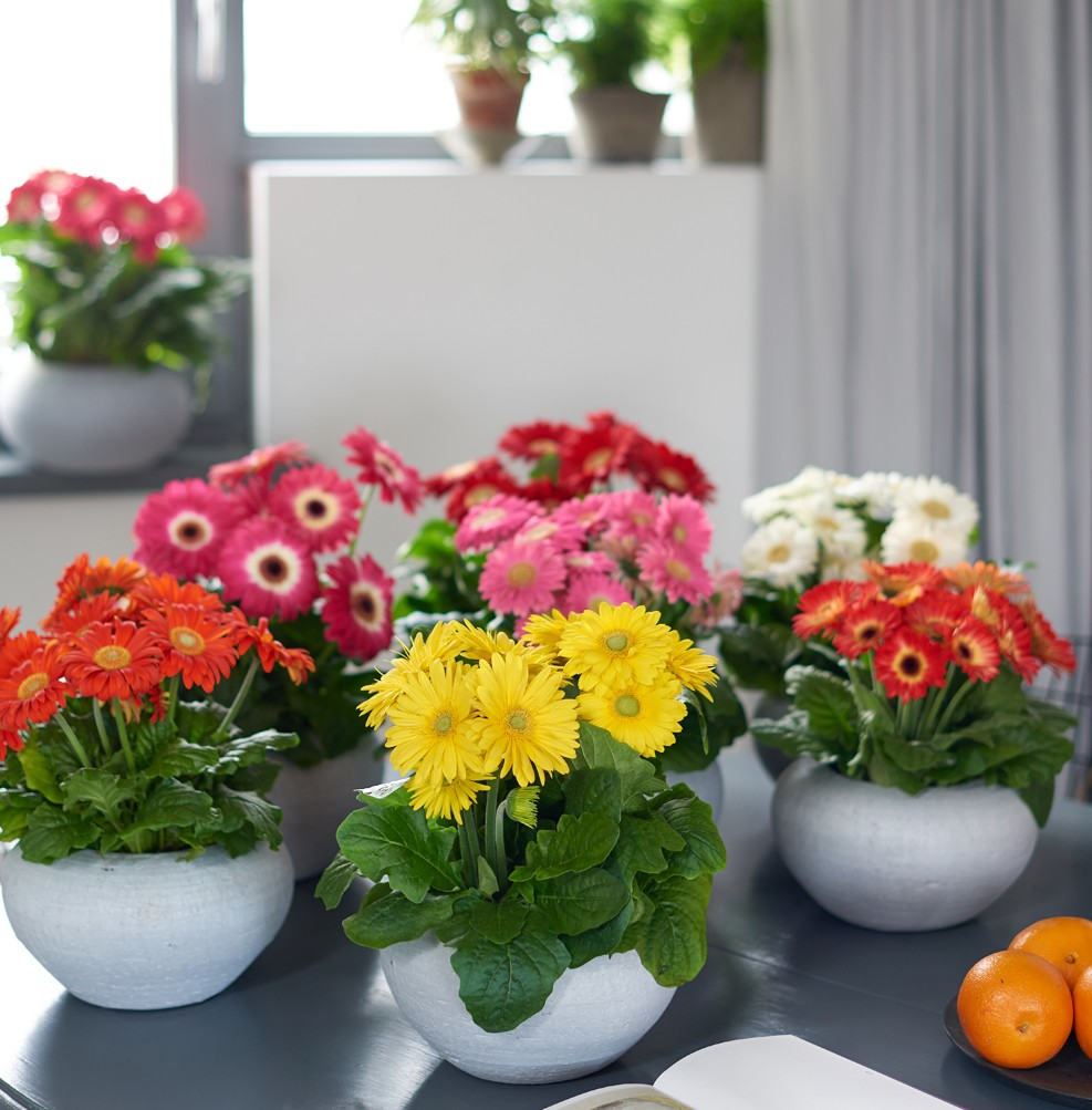 thePHAGshop_breathe_easy_gerbera_daisy_plants